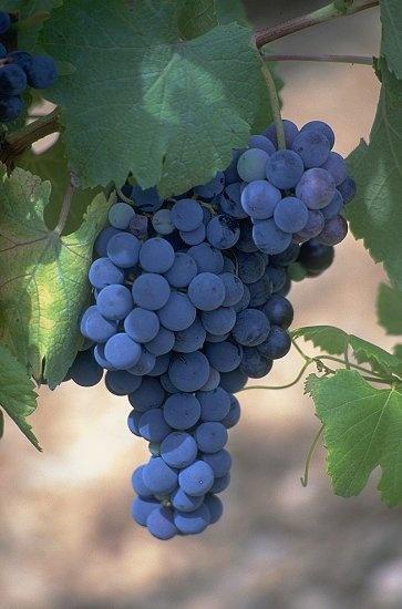 Виноград 21 века