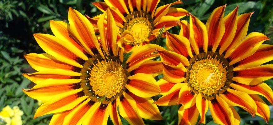 Солнечный цветок гацания