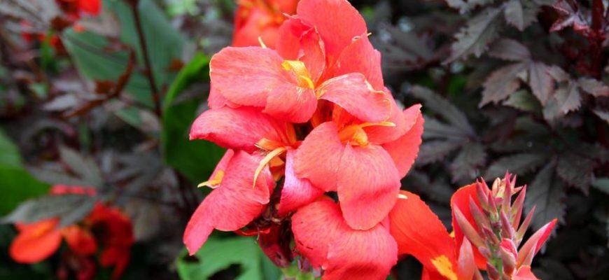 Цветы - канны