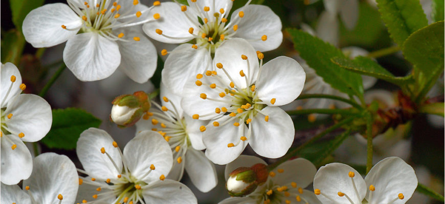 Опылители для перспективных сортов вишни (Cerasus vulgaris Mill.)