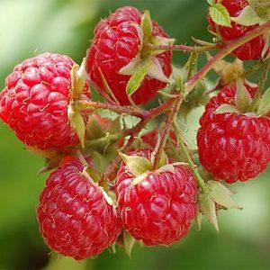 Прищипываем ягодник