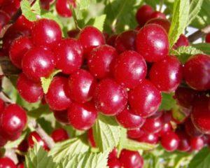 Особенности плодоношения войлочной вишни