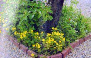 Энотера — яркое пятно в середине лета.