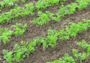 Морковь: летние посевы - слаще