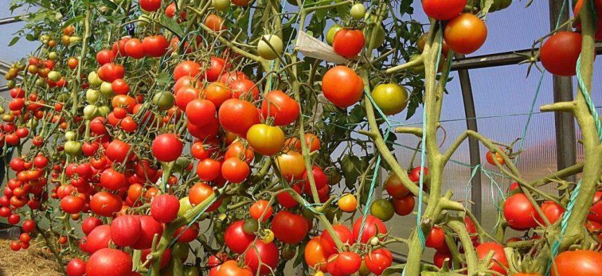 Чем больше корней, тем больше помидоров