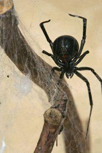 К чему снится черный паук?
