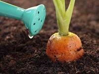 Пищевой режим и полив овощей