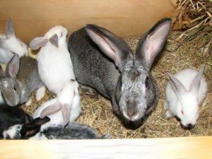 Кролики: особенности выращивания