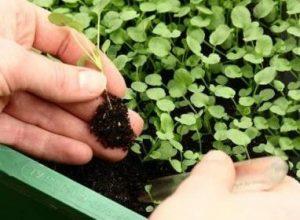 Барботирование семян воздухом или кислородом перед посевом