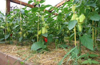 Как я выращиваю перцы
