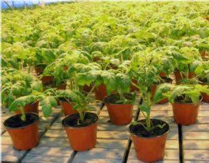 О выращивании томатов