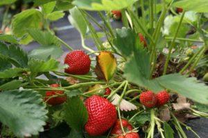 Клубника выращивание и уход