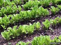 Выращиваем укроп салат шпинат