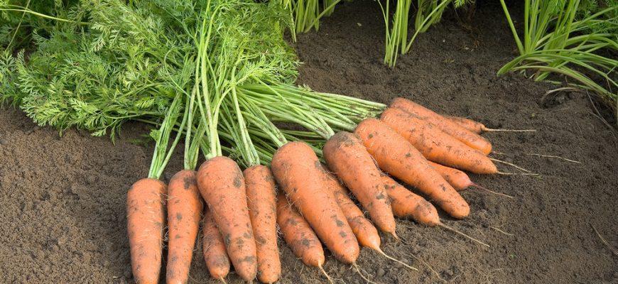 Первый урожай моркови уже в июле!