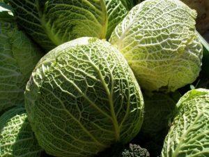 Тугой кочан - залог хорошего урожая капусты
