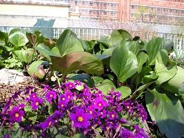 Мелколуковичные первоцветы в садах Подмосковья