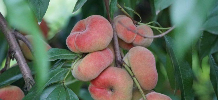 Какие сорта персика лучше всего выращивать?