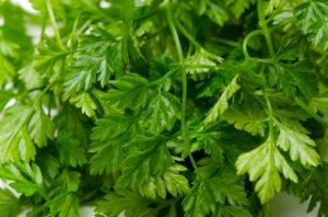 Кервель - трава, которая любит зиму