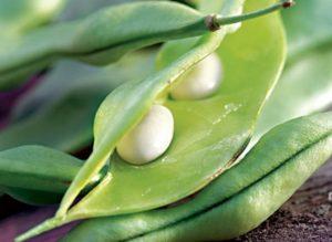 Как вырастить бобы?