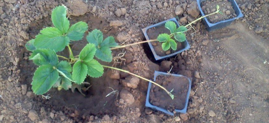 Как правильно размножать садовую землянику