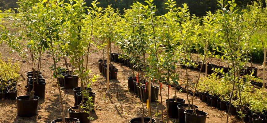 Лучшие саженцы плодовых деревьев