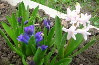 Мелколуковичные первоцветы в садах