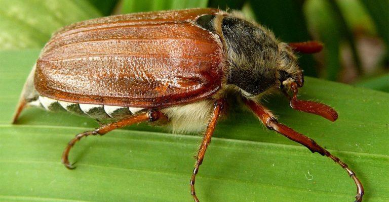 Удобрение из майских жуков