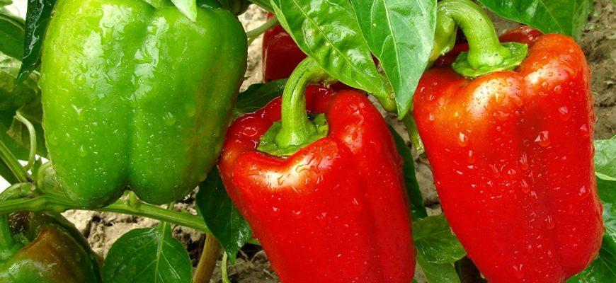 Как вырастить болгарские перцы на приусадебном участке