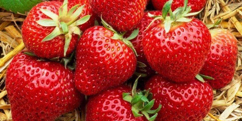 Земляника крупноплодная - самая выгодная ягода
