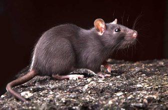 Как бороться с муравьями и крысами?