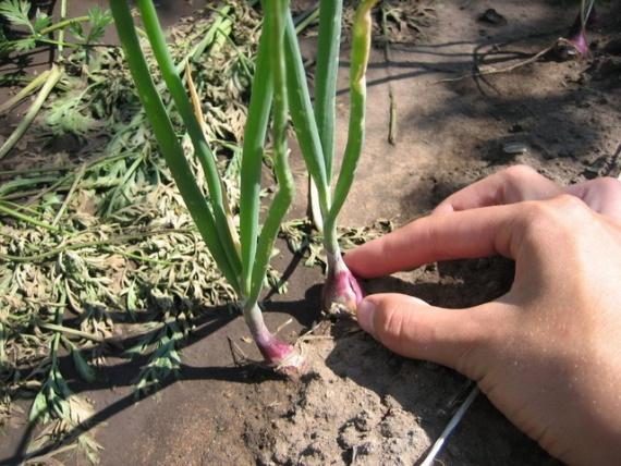 Крупный лук из семян