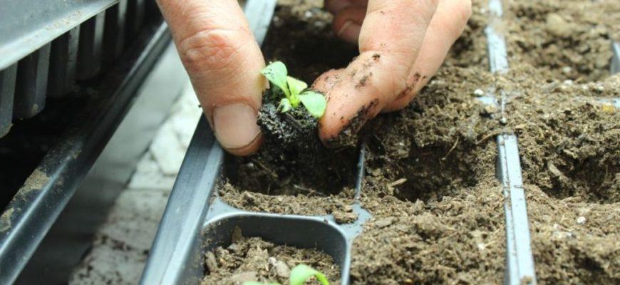 Как самому вырастить рассаду