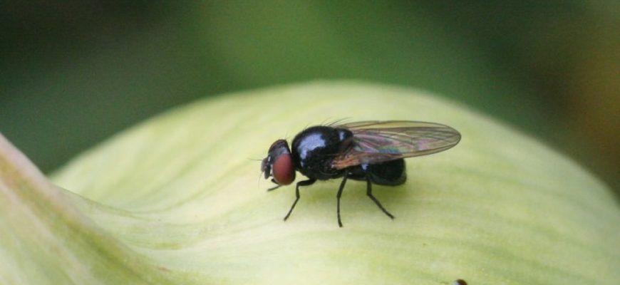 Прогнал луковую муху