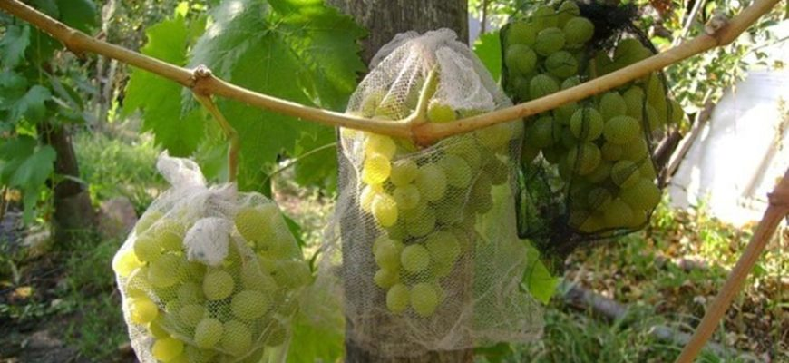 Спасти урожай от ос можно