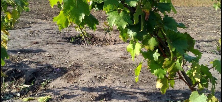 Как подкормить виноград?