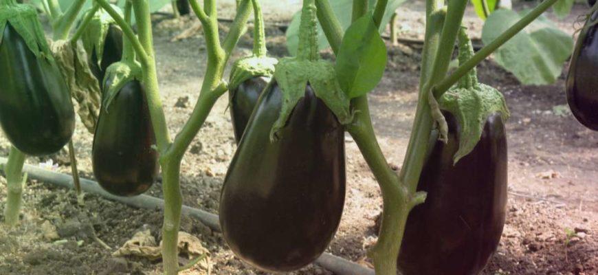 Баклажаны вполне урожайная культура