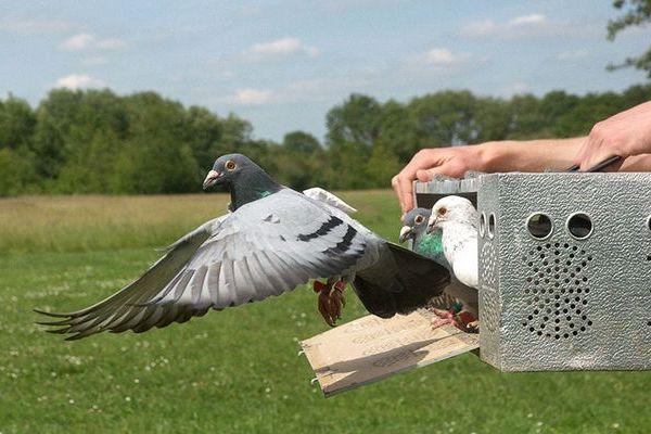 Актуальна ли голубиная почта сегодня? Особенности разведения и тренировок почтовых (спортивных) голубей