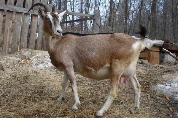 Альпийская порода коз: особенности по уходу и разведению