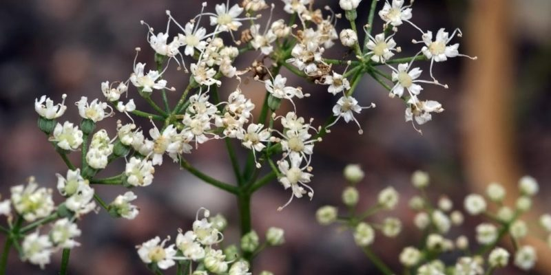 АНИС трава лечебные свойства и противопоказания