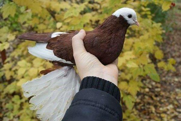 Армавирские голуби: особенности ухода и содержания