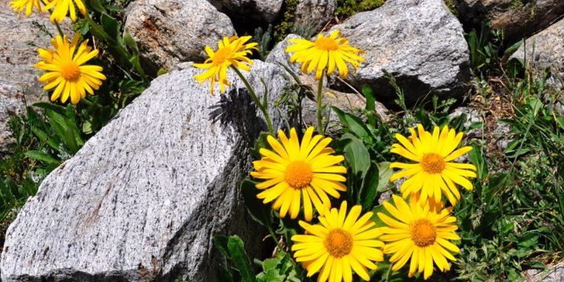 АРНИКА ГОРНАЯ травянистые растения для открытого грунта