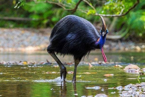Австралийские виды страусов (казуары) и образ их жизни