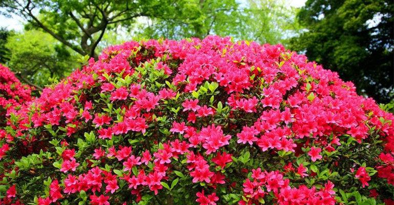 Азалия садовая – выращивание и уход в саду, квартире, описание сортов с фото