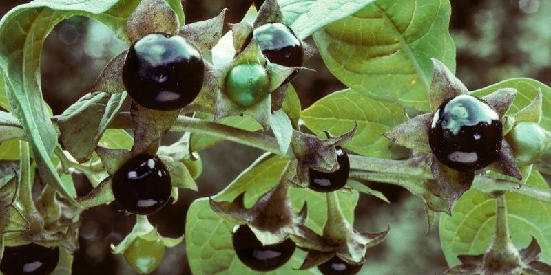 БЕЛЛАДОНА фото лекарственного растения, применение