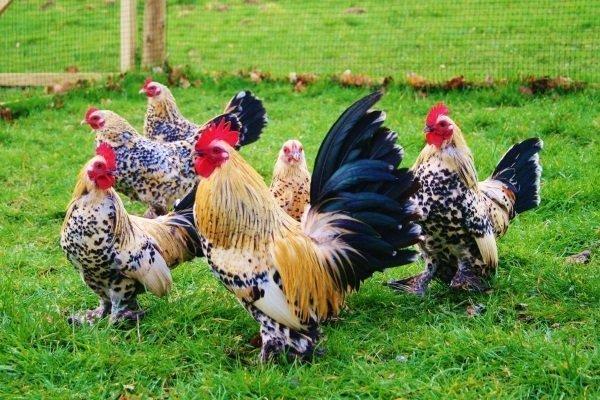 Бентамка – описание миниатюрной породы кур