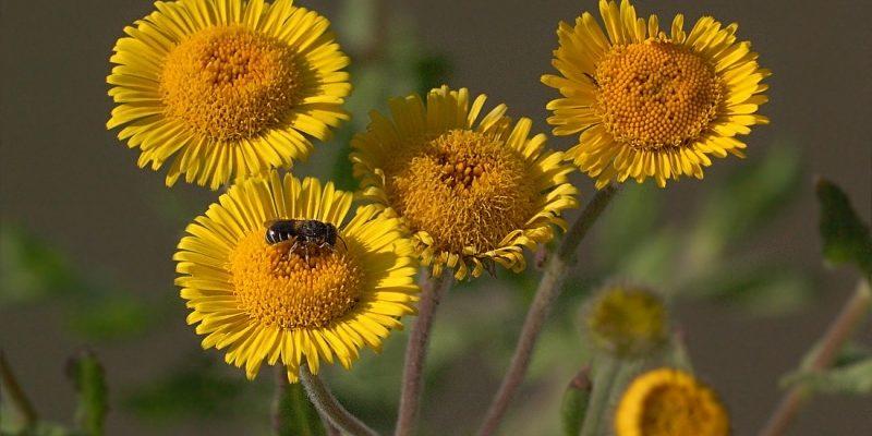 БЛОШНИЦА полезные свойства, противопоказания и фото травы