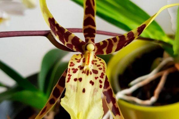 Брассия (орхидея паук)