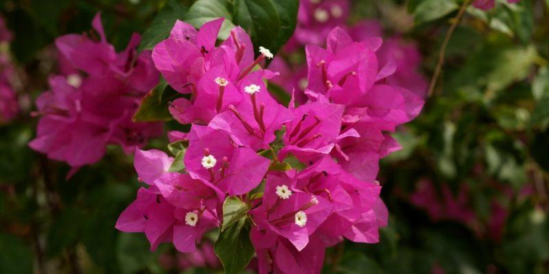 БУГЕНВИЛЛЕЯ как и сколько растет комнатный цветок