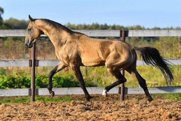 Буланая масть лошадей: особенности и характеристики