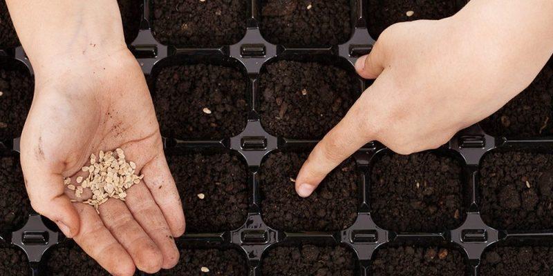 Чем обработать семена помидоров, перца, баклажанов перед посадкой